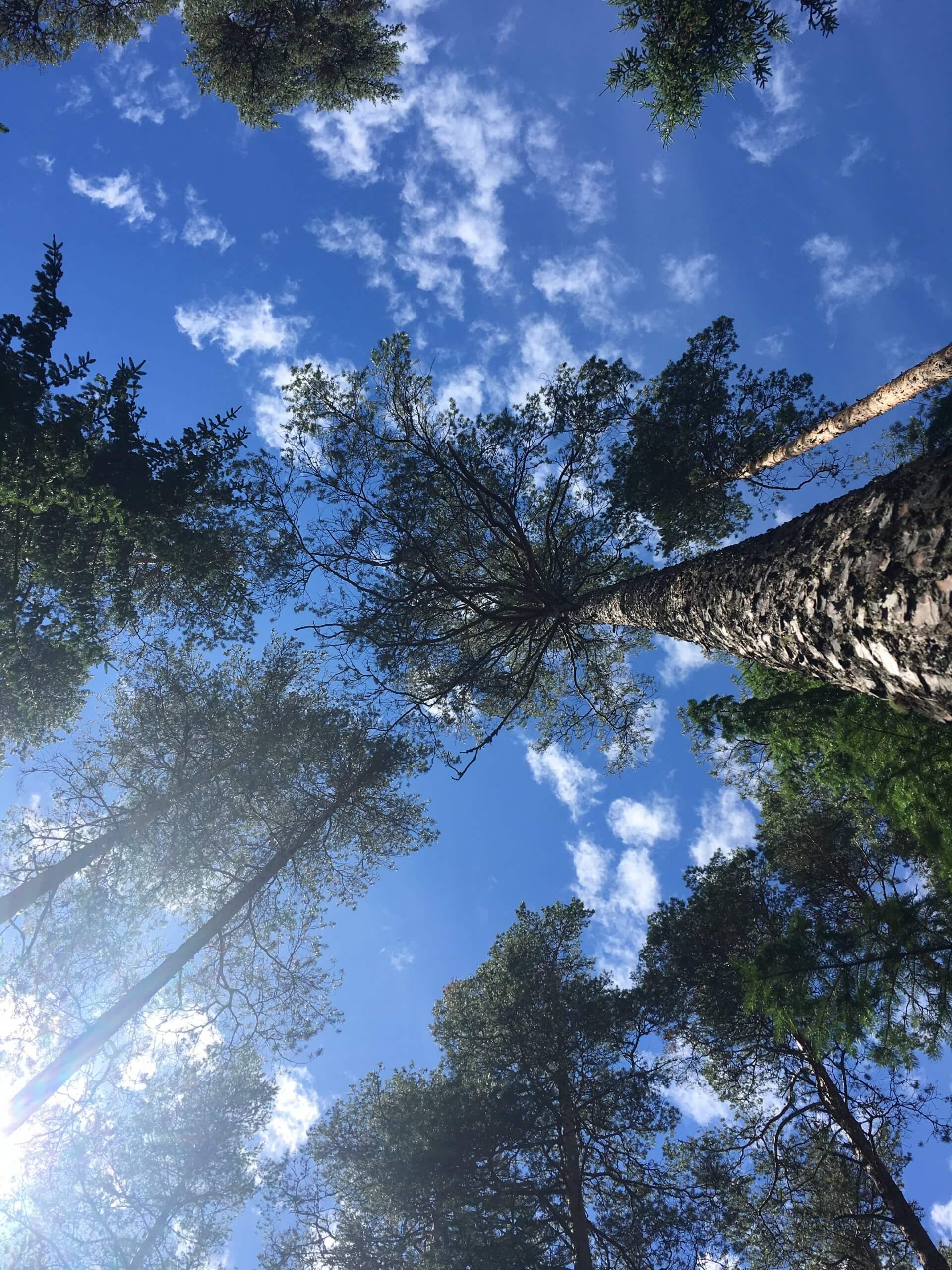 Tallar_Pinus